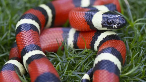 E. California King Snake vs. Corn Snake Promo Image