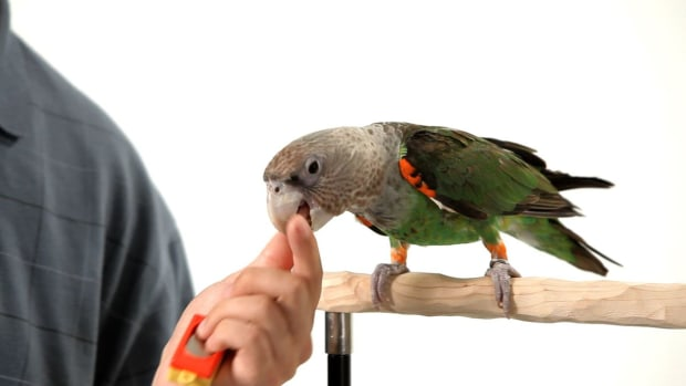 Q. How to Teach Your Parrot to Shake His Head No Promo Image