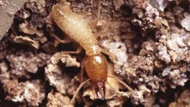 N. How to Identify Termites Promo Image
