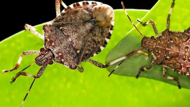 O. How to Get Rid of Stink Bugs Promo Image