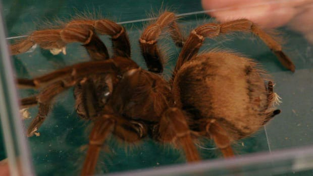 U. Common Tarantula Behavior Promo Image
