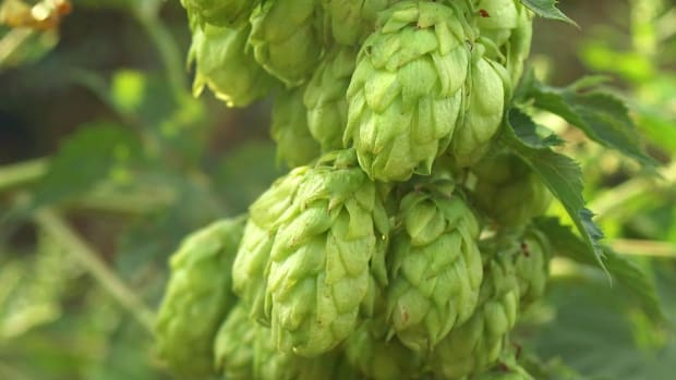 A. How to Choose Hops for Home Beer Brewing Promo Image