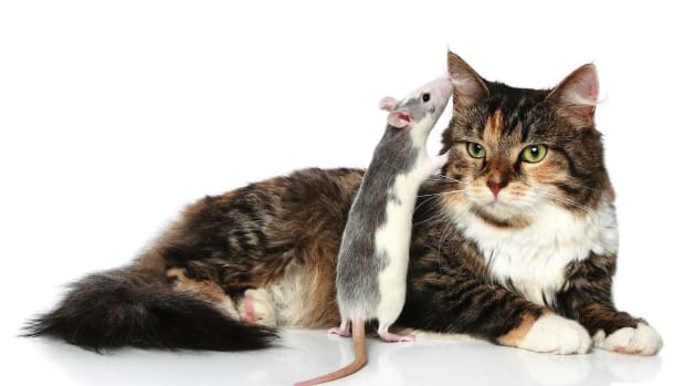 C. Do Rats Get Along with Other Pets? Promo Image