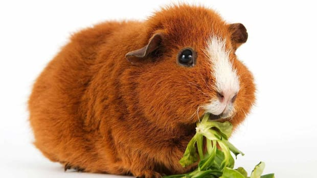 P. How to Feed a Guinea Pig Promo Image
