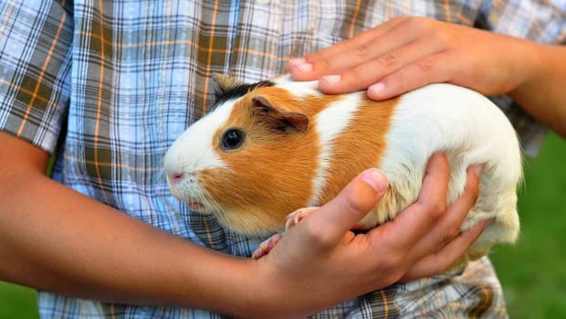 S. How to Find a Reputable Guinea Pig Breeder Promo Image