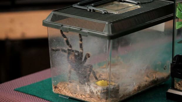 ZC. How to Clean Your Pet Tarantula's Terrarium Promo Image