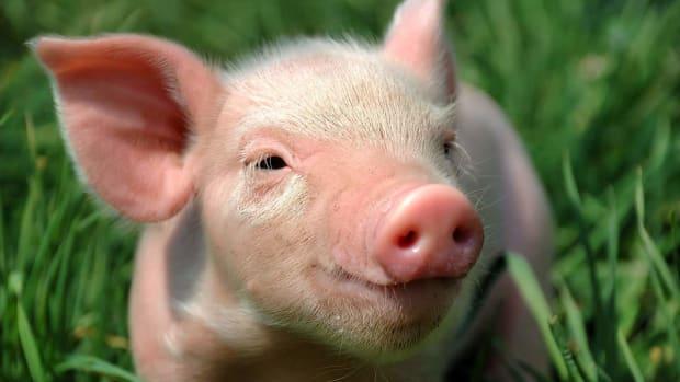I. Does a Teacup Pig Make a Good Pet? Promo Image