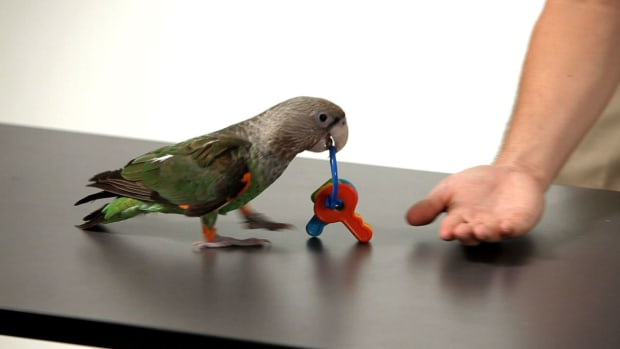 Z. How to Teach Your Parrot to Fetch on a Table or Floor Promo Image