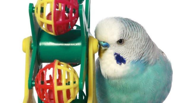 S. What Are the Best Toys for Pet Birds? Promo Image