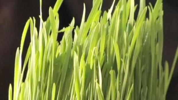 S. How to Grow Wheatgrass Promo Image