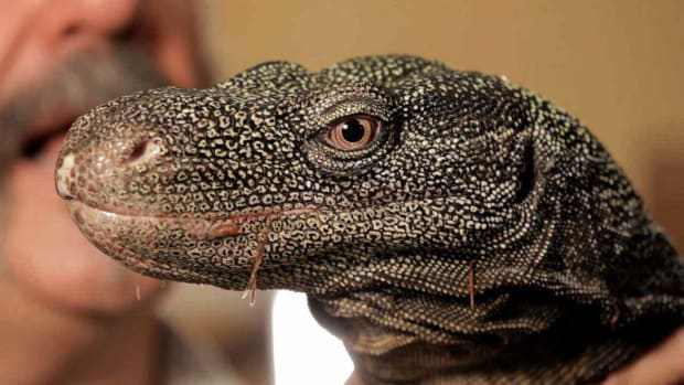 ZY. 5 Cool Facts about Monitor Lizards aka Crocodile Monitors Promo Image