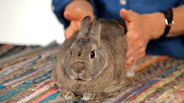 ZO. How to Help a Pet Rabbit with Gas Pain Promo Image