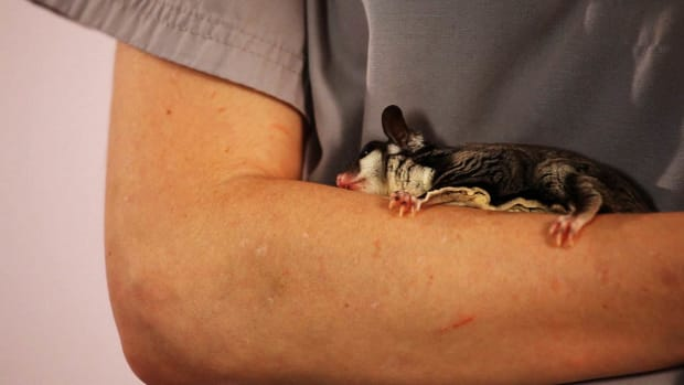 ZH. How to Keep Your Sugar Glider Healthy Promo Image