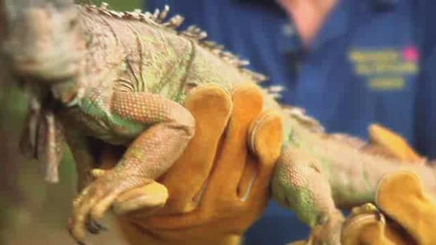 T. Does a Lizard Make a Good Pet? Promo Image