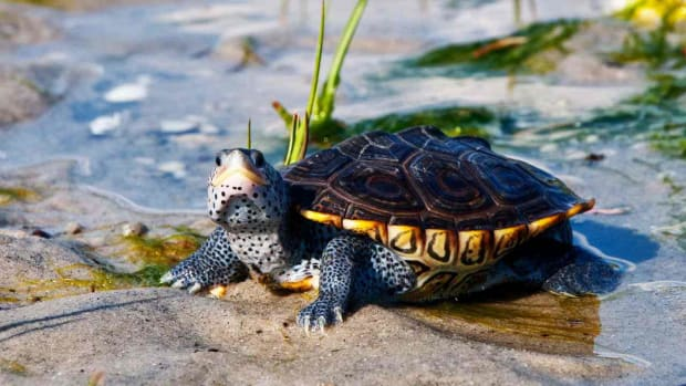 Y. What's a Diamondback Terrapin Turtle? Promo Image