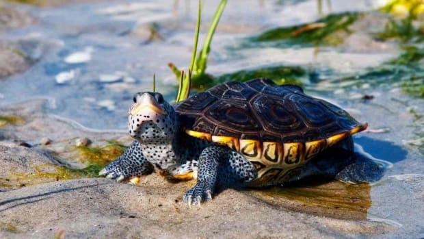 Y. What's a Diamondback Terrapin Turtle? Promo Image