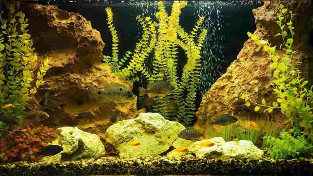 Y. How to Deal with Green Fish Tank Water Promo Image