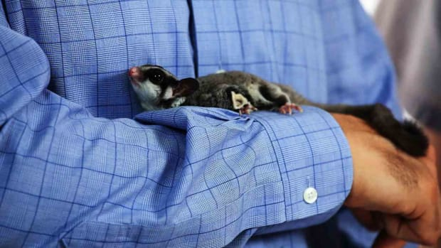 D. How to Bond with a Sugar Glider Promo Image