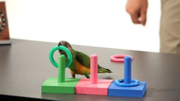 ZC. How to Teach Your Parrot to Play Ring Toss Promo Image