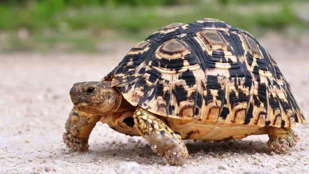 G. What's a Desert Tortoise? Promo Image
