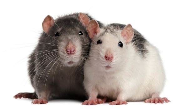 ZE. How to Understand Pet Rat Sounds Promo Image
