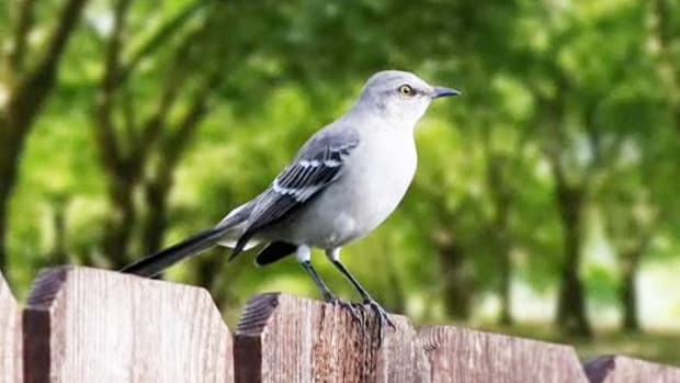D. How to Identify Birds: The Mockingbird Promo Image