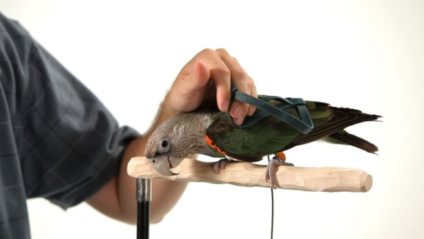 ZG. How to Get Your Parrot Comfortable with a Harness Promo Image