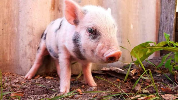 N. How to Litter Train a Teacup Pig Promo Image