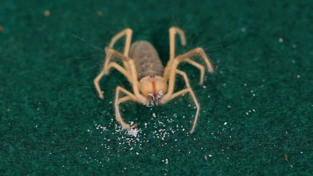 A. 10 Cool Facts about Camel Spiders (Solifugids) Promo Image