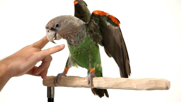 S. How to Teach Your Parrot the Big Eagle Trick Promo Image