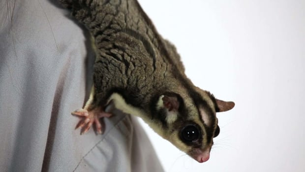 K. How Much Does a Sugar Glider Cost? Promo Image