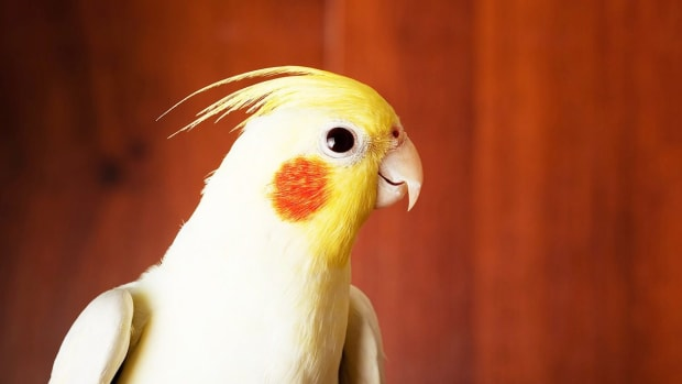 ZR. How to Take Care of a Cockatiel Promo Image