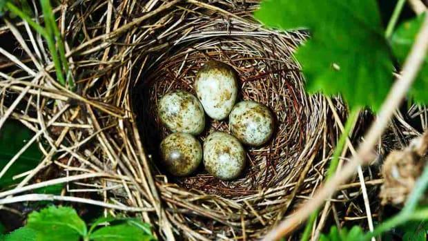 ZH. Do Pet Birds Lay Eggs? Promo Image