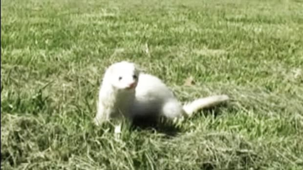 E. How to Buy Ferrets Promo Image