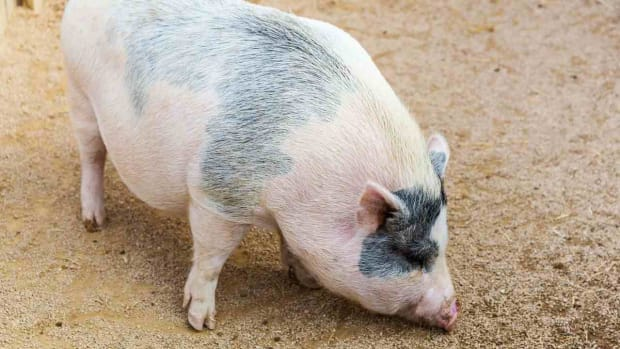 B. What Is a Potbellied Pig aka Miniature Pig? Promo Image