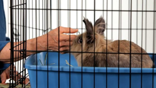 Y. How to Make a Pet Rabbit Less Aggressive Promo Image
