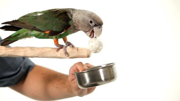 Y. How to Teach Your Parrot to Fetch from a Perch Promo Image