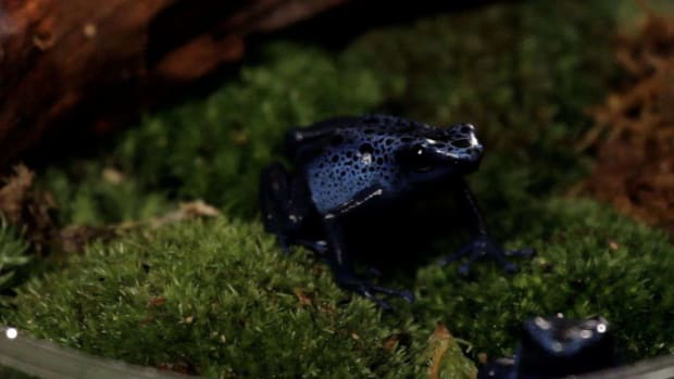 M. 3 Care Tips for Poison Dart Frogs Promo Image