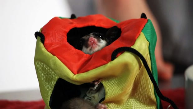 Y. What Is a Sugar Glider Joey? Promo Image