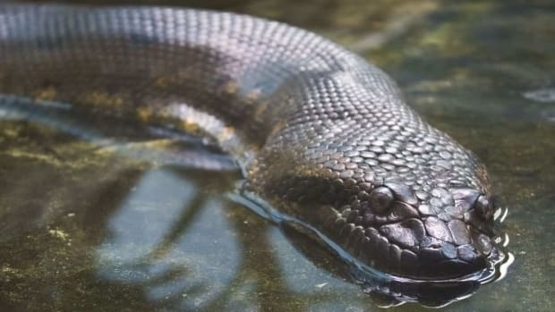 ZM. Fun Anaconda Facts Promo Image
