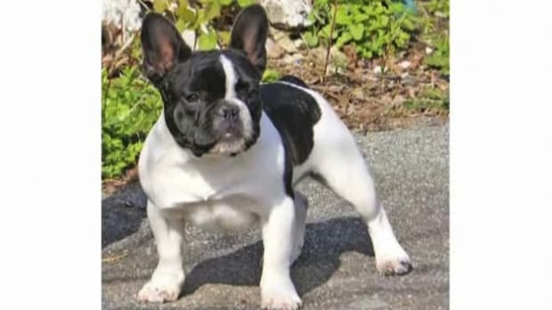 M. Pros & Cons of the French Bulldog Breed Promo Image