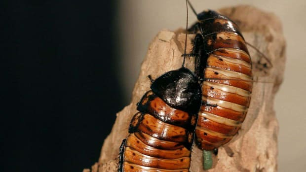 ZM. 8 Cool Facts & Care Tips for Madagascar Hissing Cockroaches Promo Image