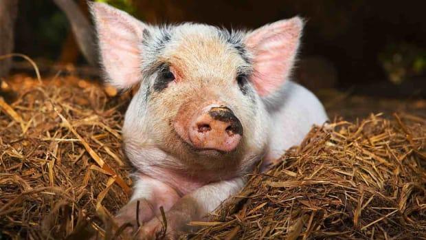 K. Where Can I Get a Teacup Pig? Promo Image