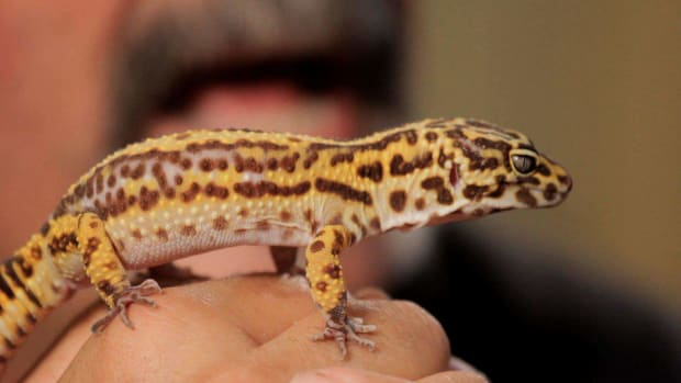 V. 5 Cool Facts about Leopard Geckos Promo Image