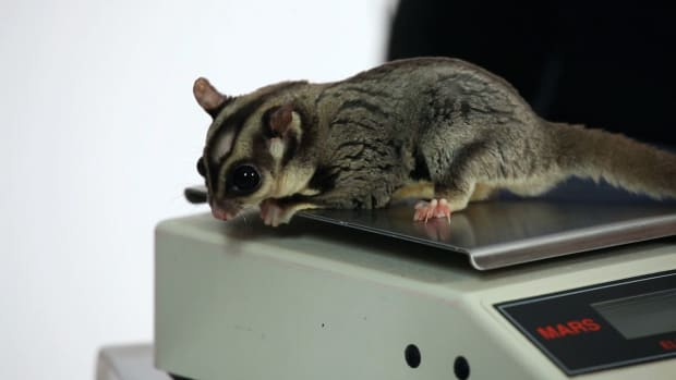 C. Male vs. Female Sugar Gliders Promo Image