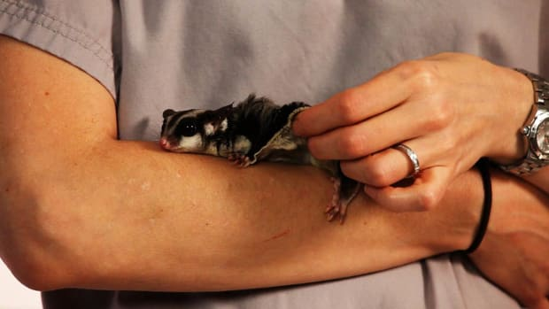 ZB. How to Adopt / Rescue a Sugar Glider Promo Image