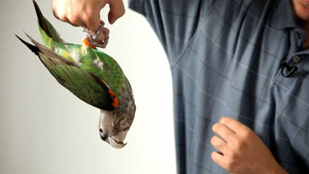 T. How to Teach Your Parrot to Hang Off Your Finger like a Bat Promo Image