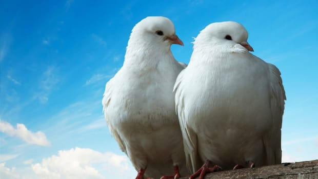 ZW. What Is a Dove Like as a Pet? Promo Image
