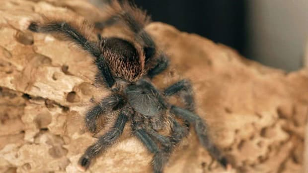O. 5 Cool Facts & Care Tips for Pink Toe Tarantulas Promo Image