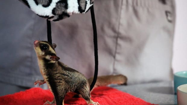J. How Much Attention Do Sugar Gliders Need? Promo Image